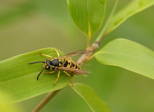 wasp-insect-macro-close-158313